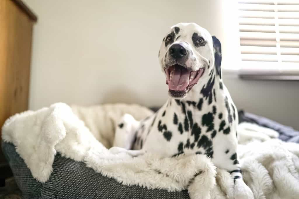 best dog food for dalmatians 2018 guide pet food reviewer