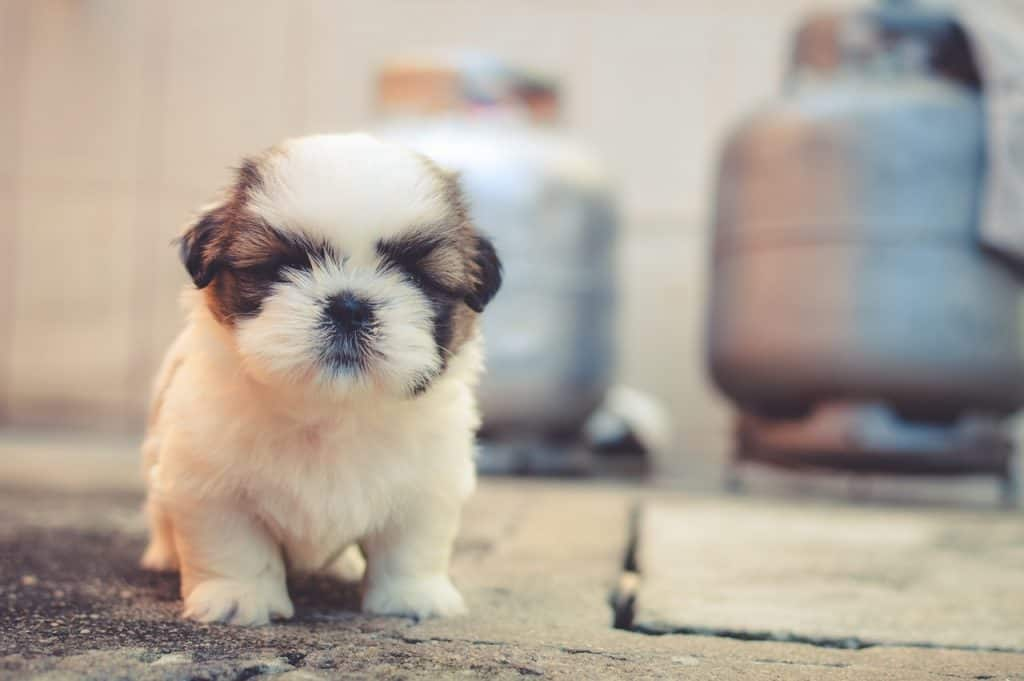 Small Breed Puppy